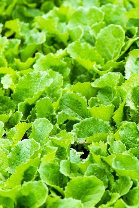 leaf mustard greens grow a vegetable garden at village in rilong town