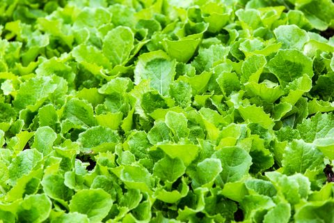 what to grow in november mustard greens