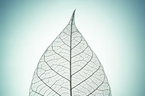 leaf skeleton on green tone background