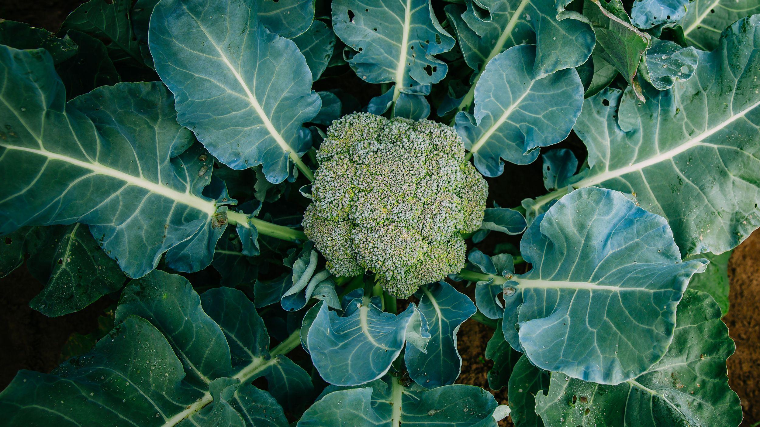 How To Grow Broccoli Growing Broccoli