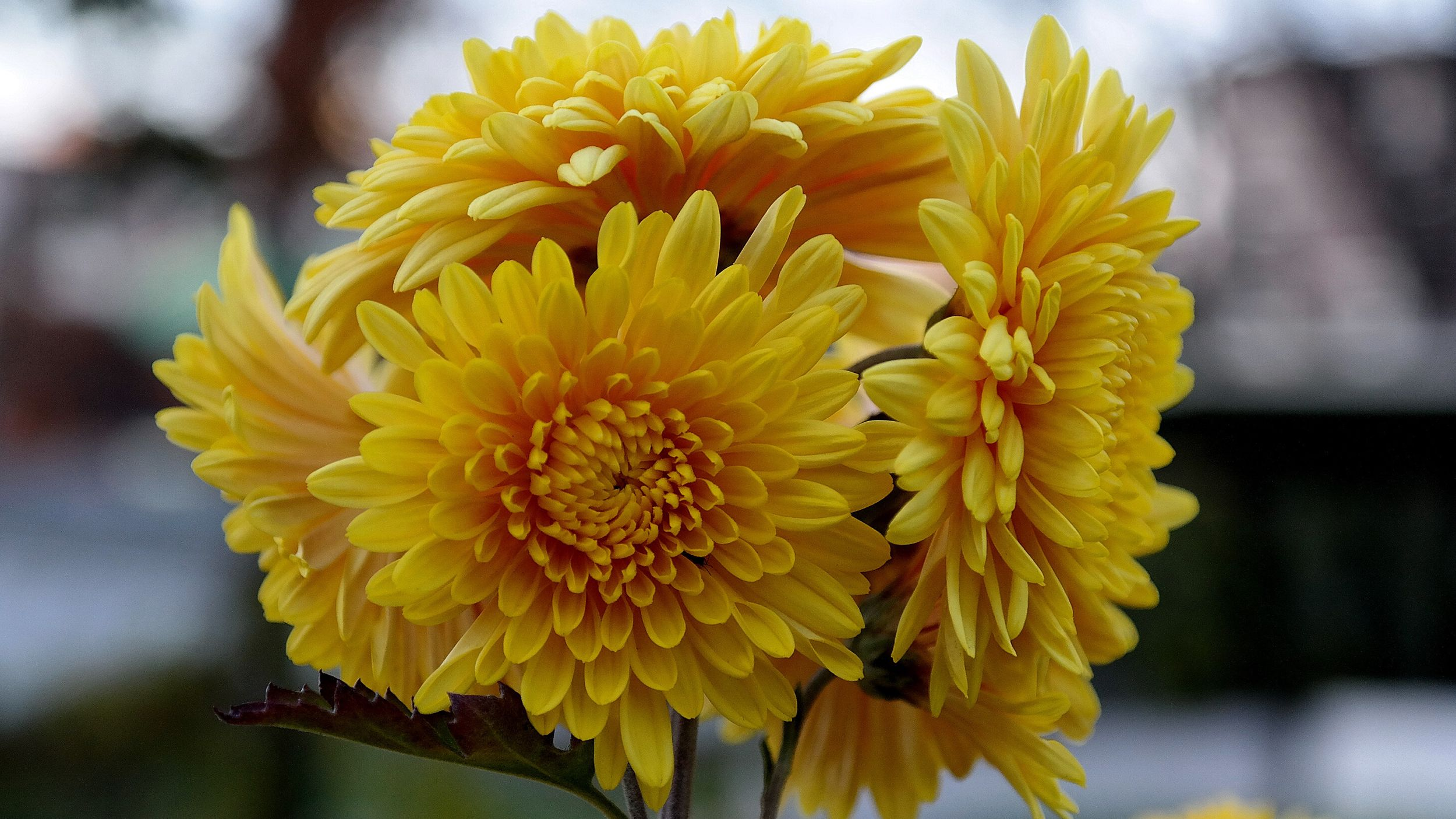 How to Grow Fall Mums