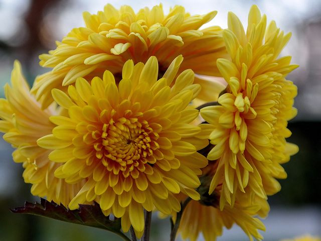 How To Grow Chrysanthemums In Your Garden Tips For Growing Mums