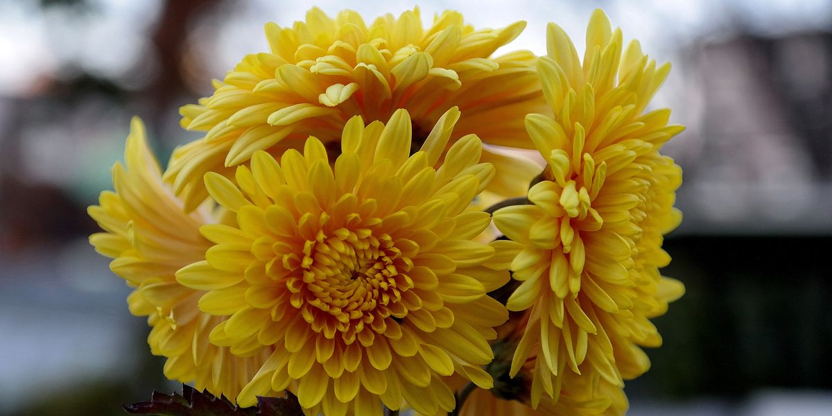 How To Grow Fall Mums How To Grow Chrysanthemums In Your
