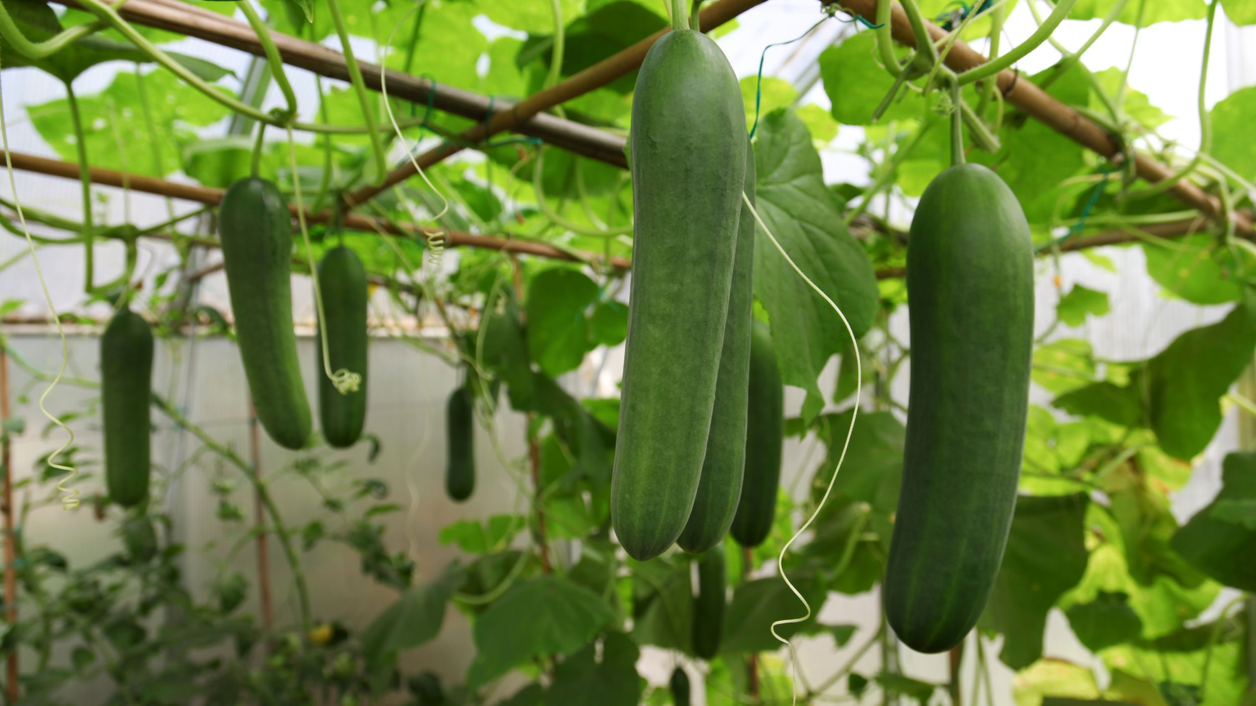When to plant cucumbers