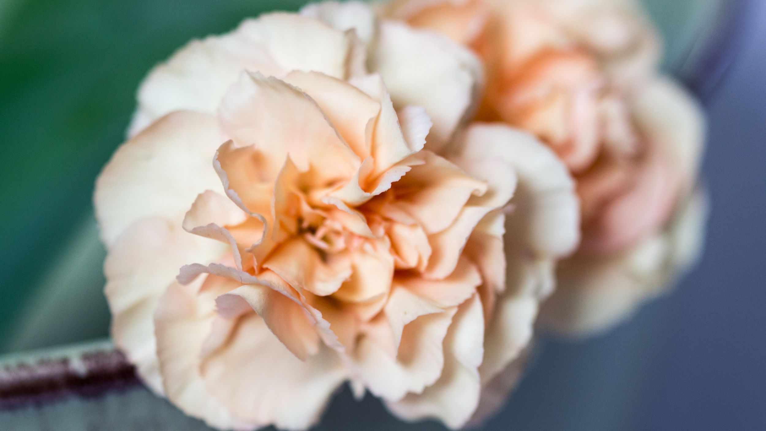 Carnation care how to plant grow carnations in a garden izmirmasajfo