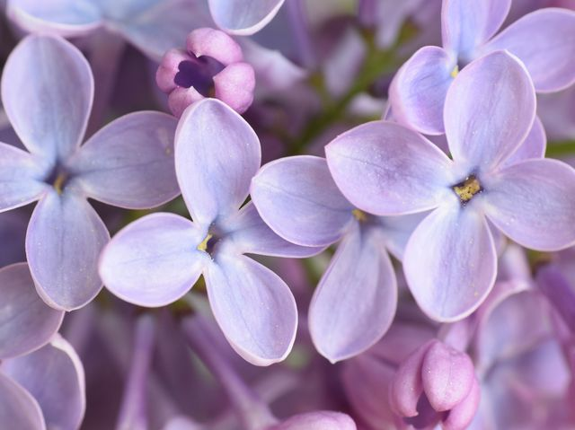 How To Grow A Lilac Bush Tips For Growing Lilac
