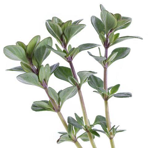 Lemon thyme green leaf