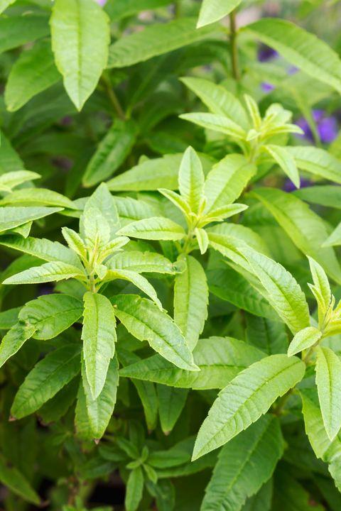 lemon verbena   aloysia triphylla, lippia citirodora, aloysia citriodora