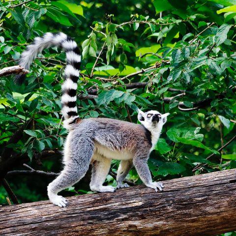 Mammal, Vertebrate, Wildlife, Terrestrial animal, Nature reserve, Lemur, Tail, Organism, Tree, Adaptation,