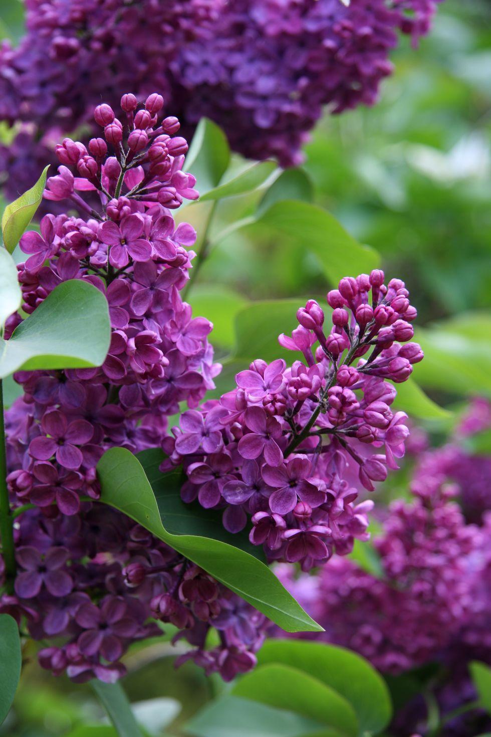 Lila - significados de flores