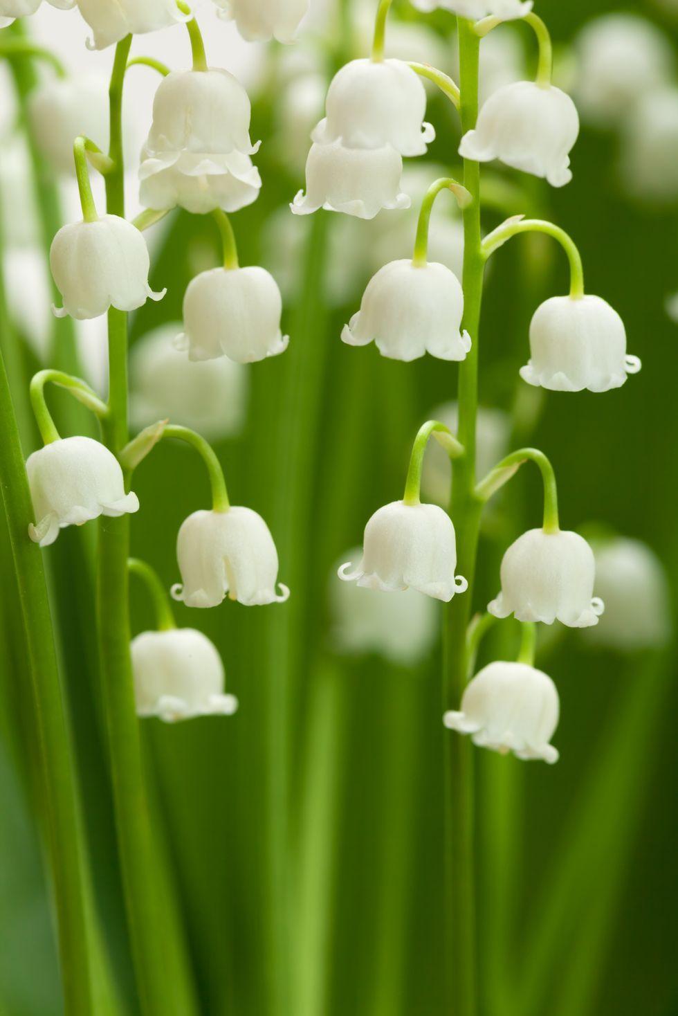 Lirio de los valles - significados de flores
