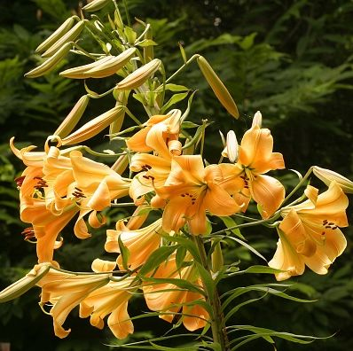 a stem with several bright yellow lily blooms