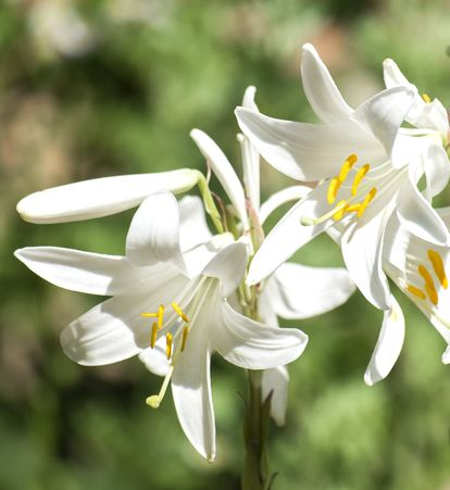 17 Types Of Lilies Favorite Perennial Flowers