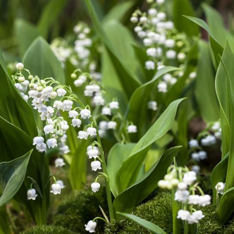 lily of the valley   ground cover plants