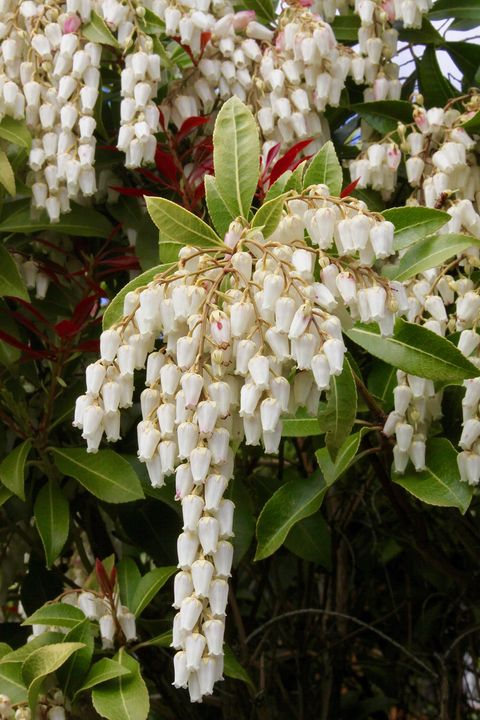 Lily-Of-The-Valley Shrub