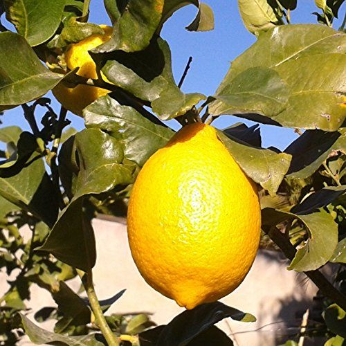 Árbol limonero