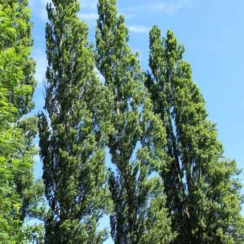 Line of tall Lombardy poplar trees (Latin: Populus nigra 'Italica')