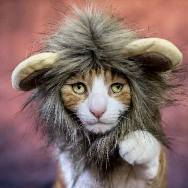 lion cat costume for halloween