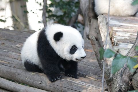 Little panda baby in China
