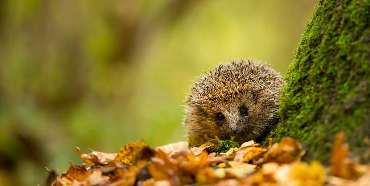 London's hedgehog hotspots revealed thanks to hidden cameras around the city