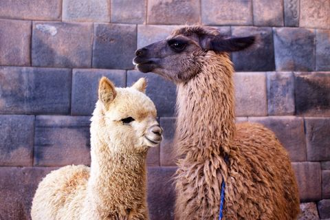 6 Things To Know About Pet Llamas And Alpacas Getting A Llama As A Pet