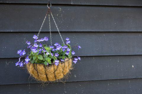 lobelia best hanging plants