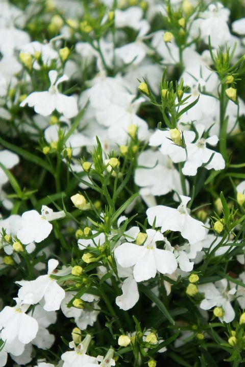 Lobelia erinus pendula many white flowers with green