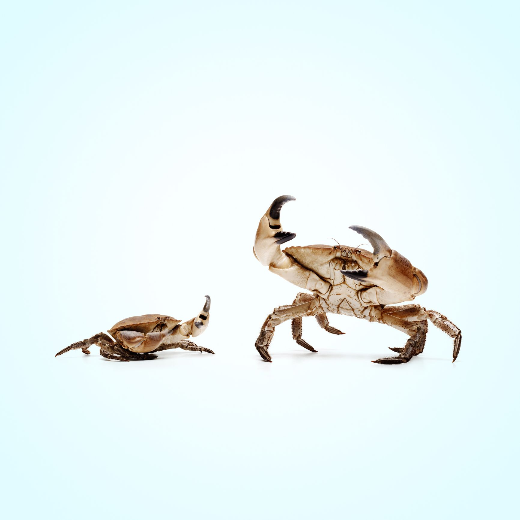 Animals Keep Evolving Into Crabs, Which Is Somewhat Disturbing