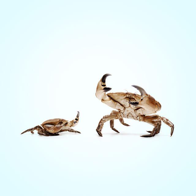 lobstermayhem dominance 02
