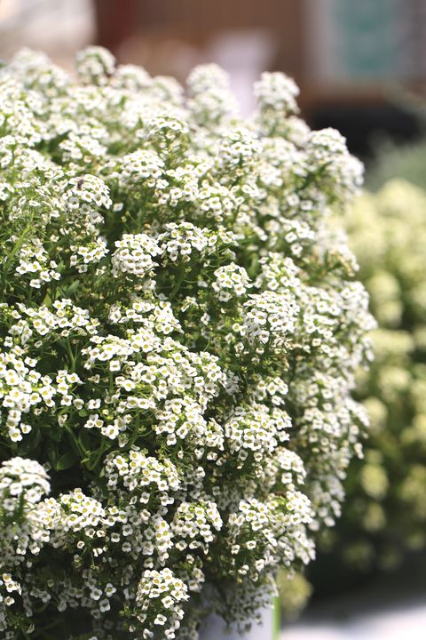 Lobularia Sweetness White Alyssum