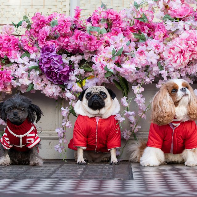 Dog, Canidae, Pink, Flower, Plant, Companion dog, Dog breed, Spring, Carnivore, Sporting Group,