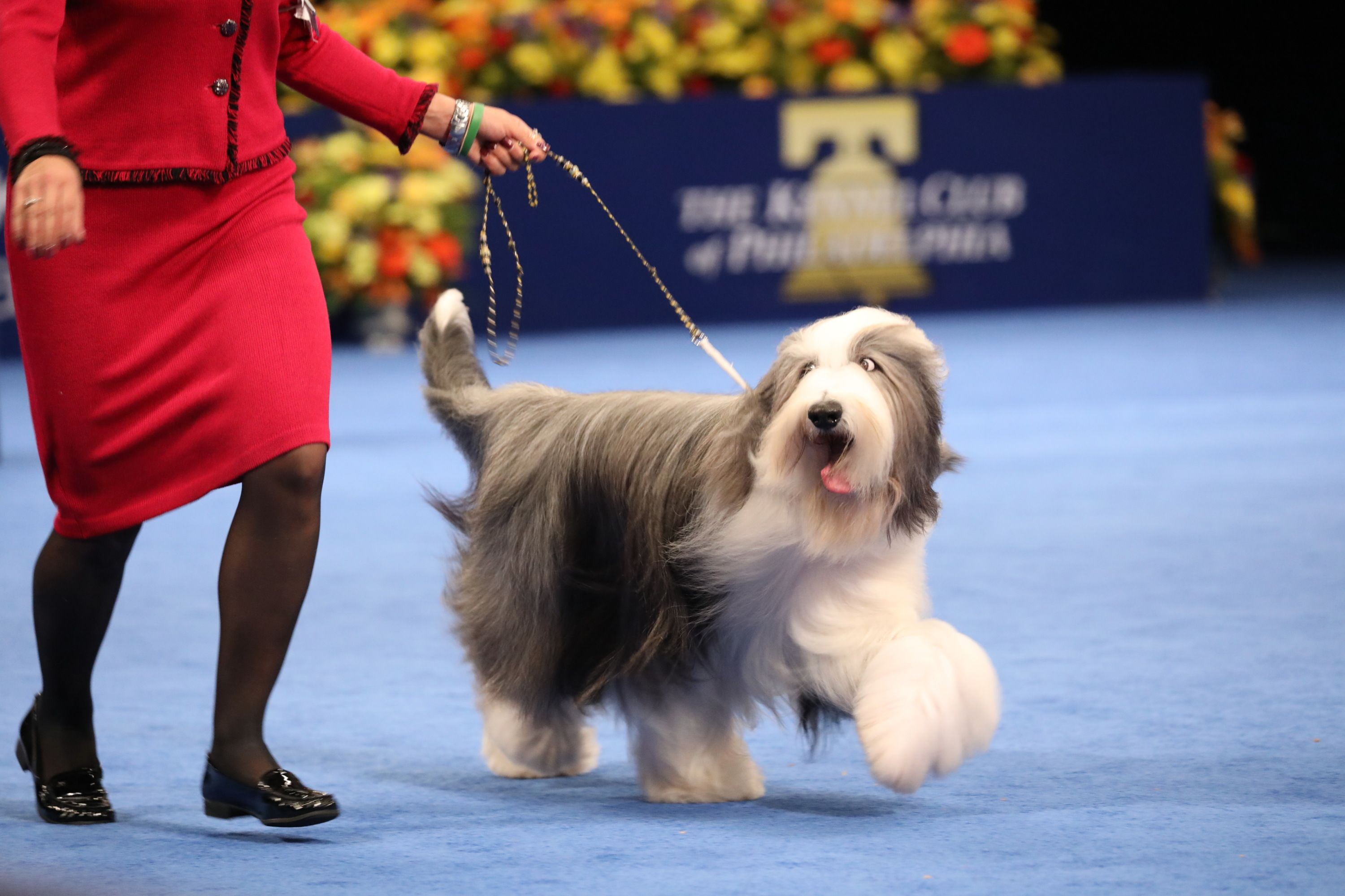18 Long,Haired Dogs Afghan Hound, Bearded Collie, and More