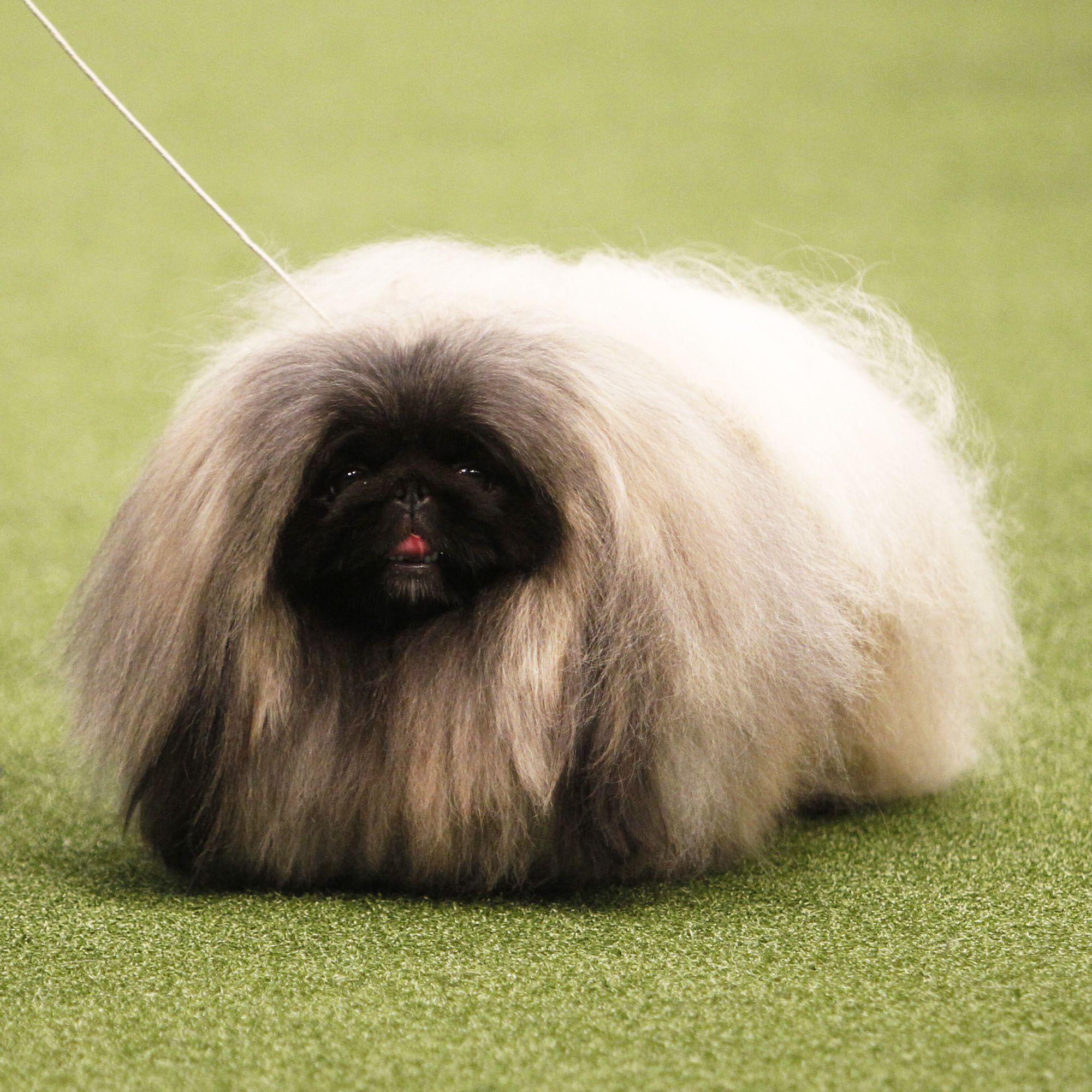 18 Long Haired Dogs Afghan Hound Bearded Collie And More