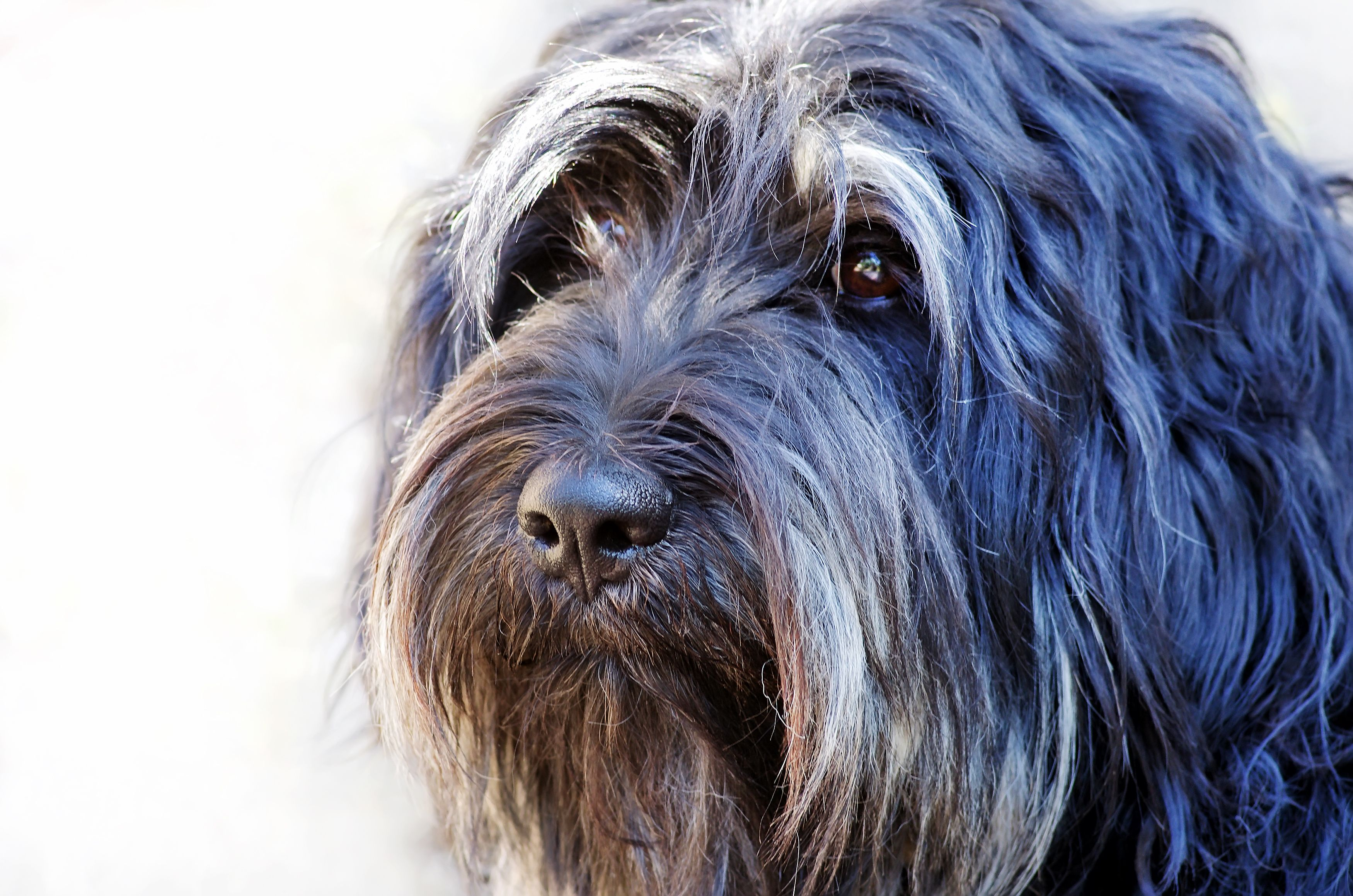 18 Long Haired Dogs Afghan Hound