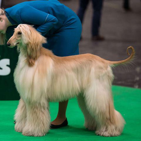 long-hair-dogs-afghan-hound