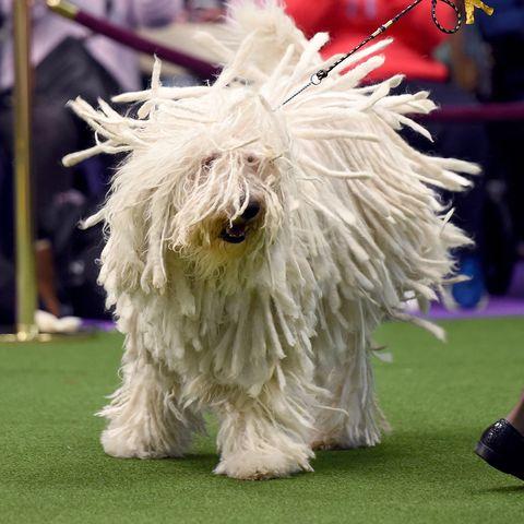 long-hair-dogs-komondor