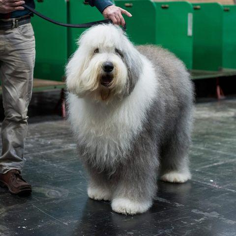 long-hair-dogs-old-english-sheepdog