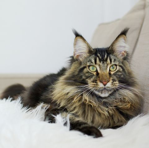 long haired cats - maine coon