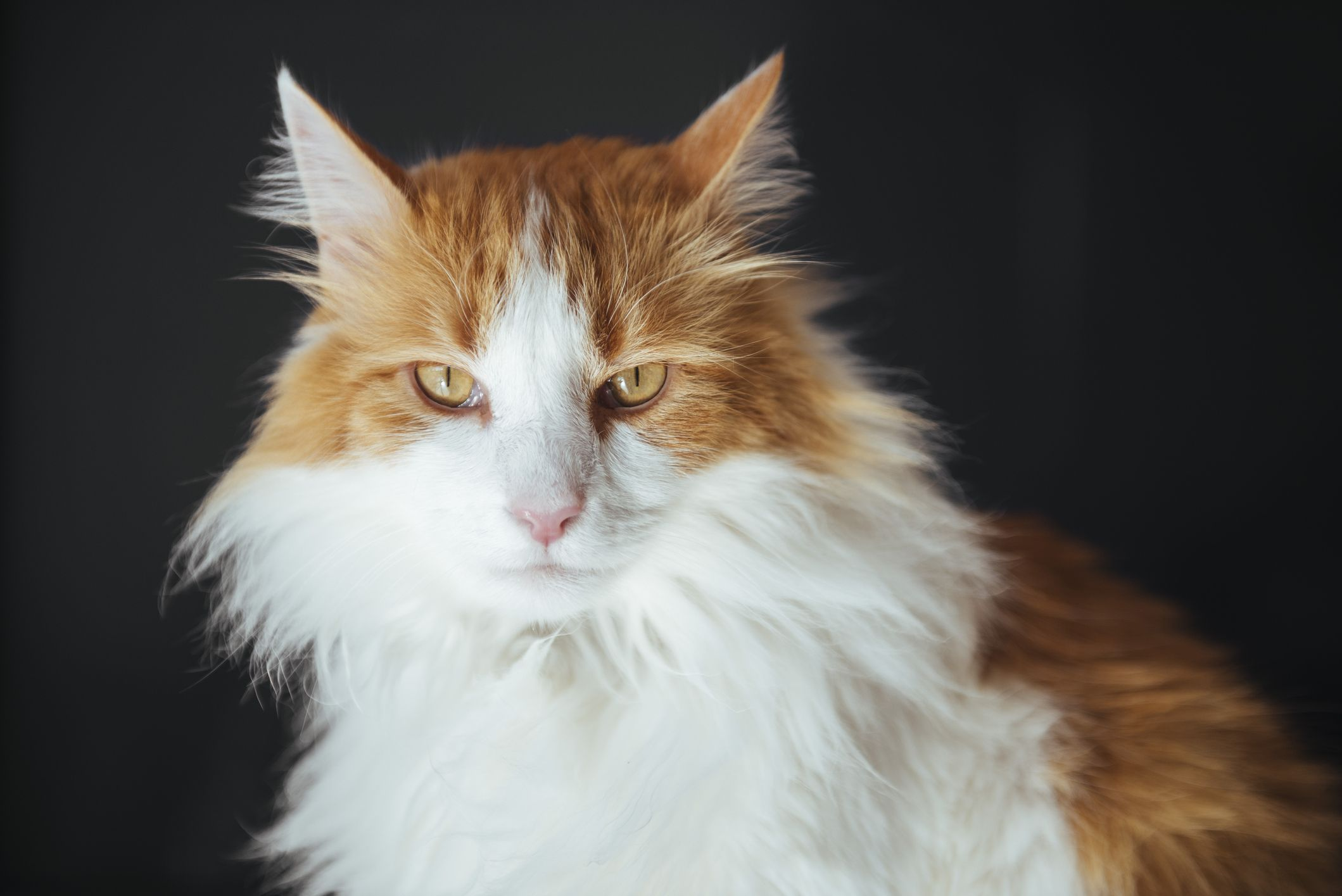 10 Long-Haired Cats: Maine Coon, Norwegian Forest, and More