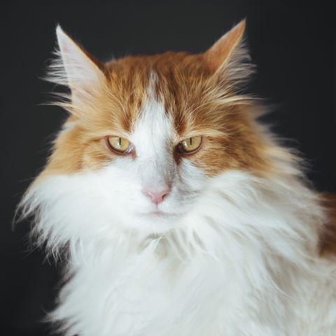 long haired cats - norwegian forest
