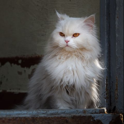 long haired cats - persian
