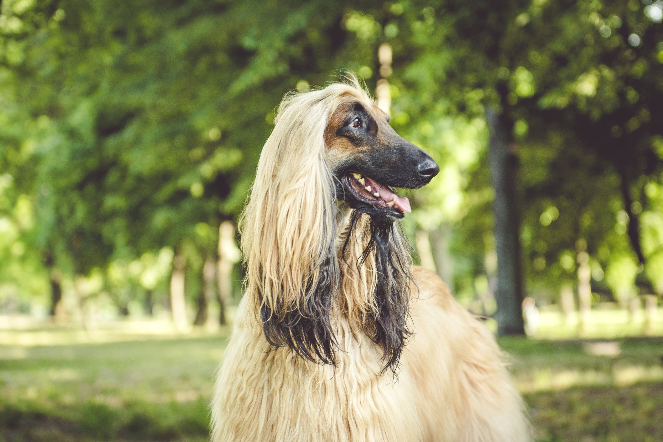 15 Long-Haired Dog Breeds That Anyone