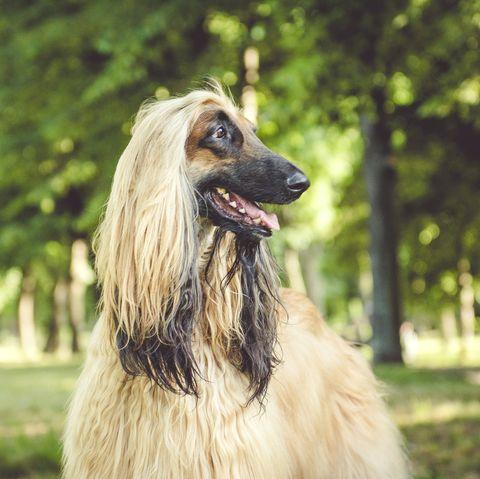 Afgan Hound dog