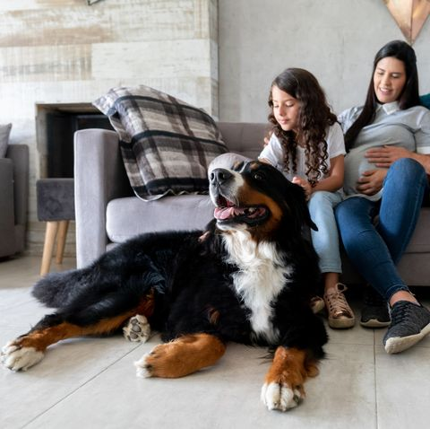 Beautiful dog at home with a pregnant family