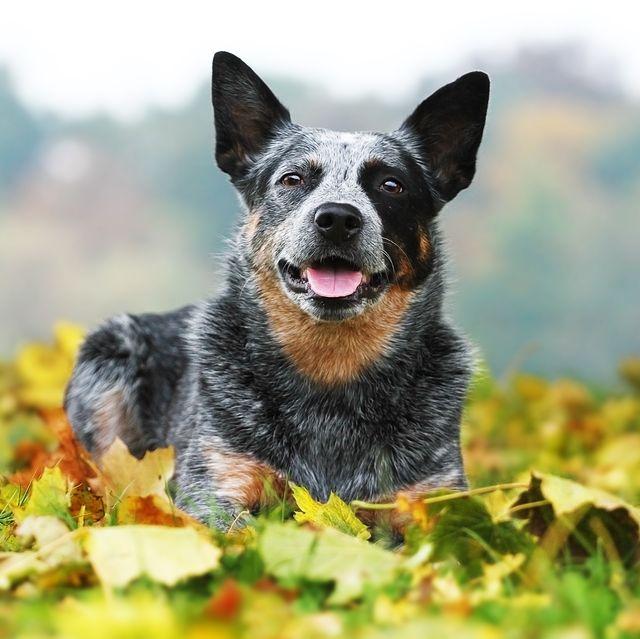 longest-living-breeds-australian-cattle-dog