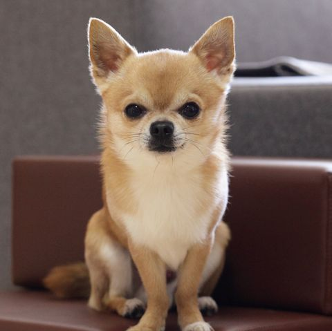 longest-living-dog-breeds-chihuahua