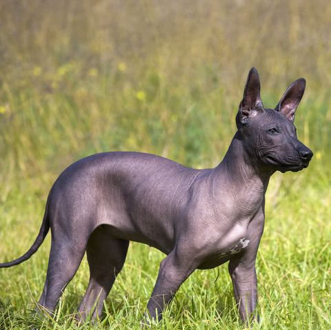 longest-living-dog-breeds-xoloitzcuintli