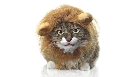 hierin lijken katten nog op leeuwen