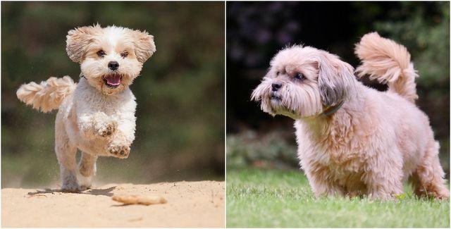 look alike dog breeds