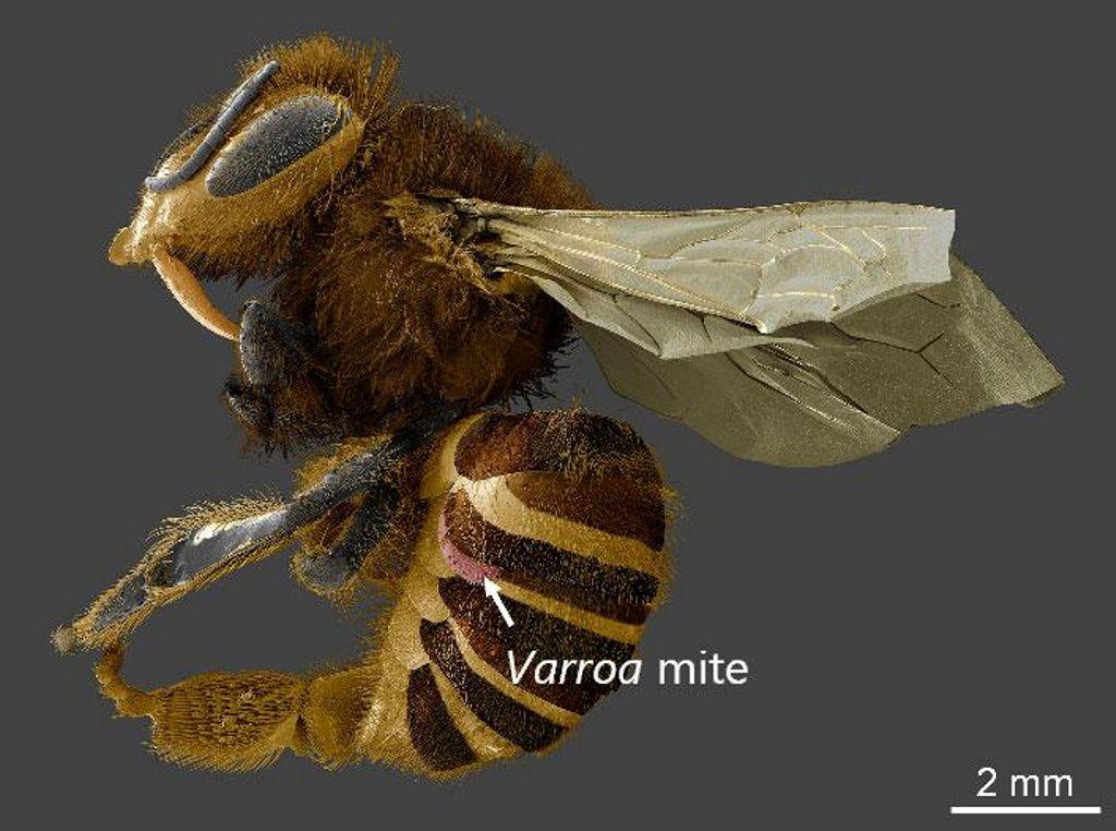 Los parásitos que atacan a las abejas no buscan su sangre. ¿Cuál es su objetivo, entonces?